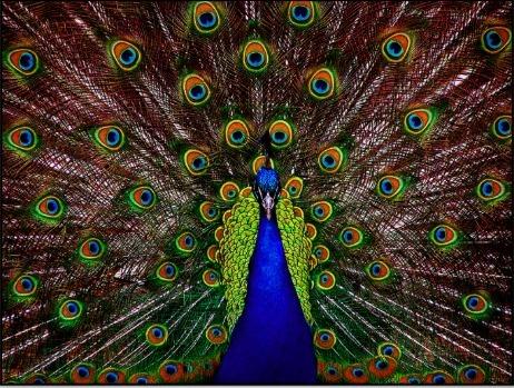 peacock mama